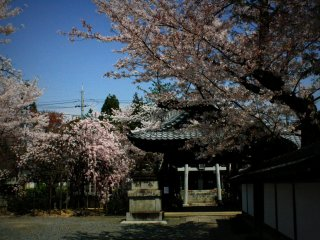 There are plenty of other places to see cherry blossoms in Kyoto, however. You just cannot choose wrong as everywhere looks amazing. This time I found myself strolling somewhere around the base of Yoshida mountain.