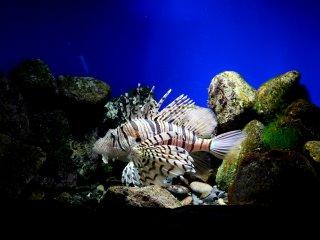 Великолепная рыба-лев (также известна как рыба-зебра, огненная рыба, турецкая рыба, рыба-индюк или полосатая крылатка)