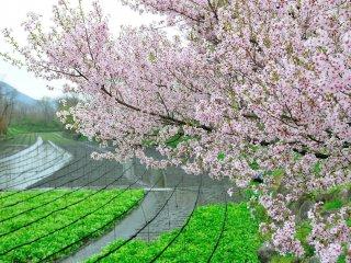 悪戯のようなそよ風に満開の桜が散る!緑色のわさびに向ってひらひらと