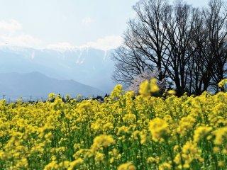 この季節の風物詩!菜の花と遥か彼方に聳える3000m級の峰々