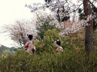 Два молодые девушки, наряженные в кимоно майко