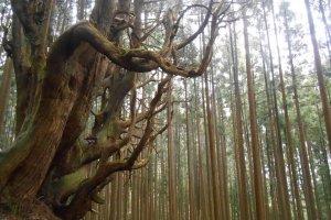 L'imposant séquoia
