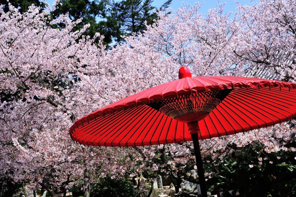Di depan aula utama, payung Jepang merah tua membuat kontras yang mencolok dengan bunga sakura berwarna merah muda