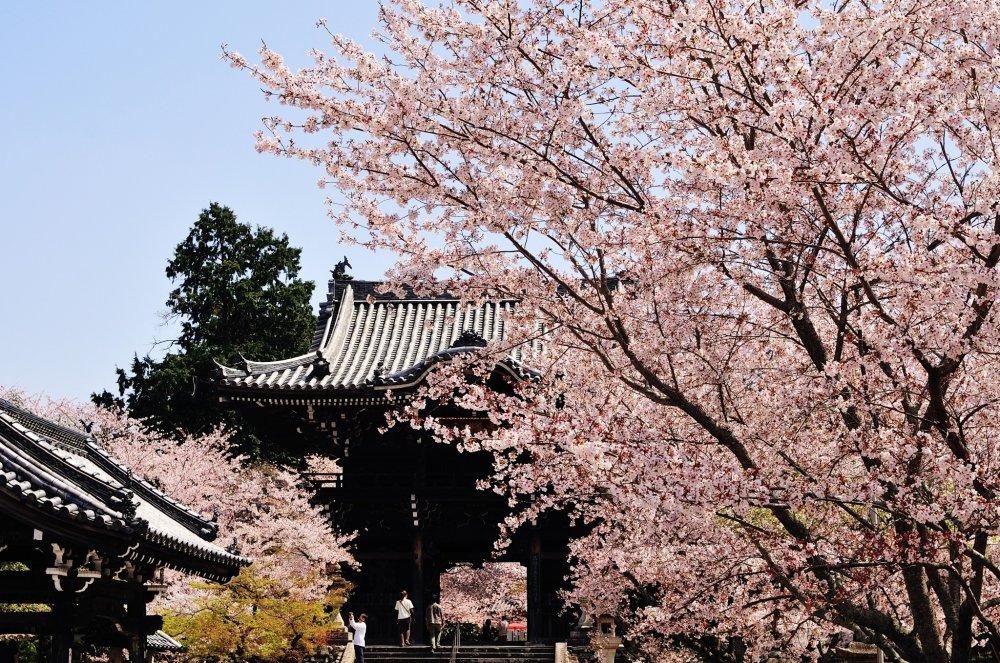 etiap orang yang sedang lewat gerbang tengah mendongak dan mengagumi bunga sakura yang cantik