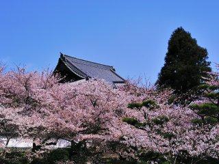 Atap aula utama ini adalah atap terbesar dari 33 kuil ziarah Saigoku (wilayah Kansai). Bunga sakura begitu mengesankan!