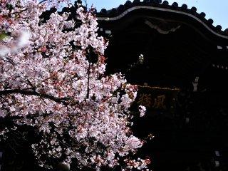 Bunga sakura yang indah dan tanda kuil 'Fu-mo-zan' menggantung dari atap gerbang tengah