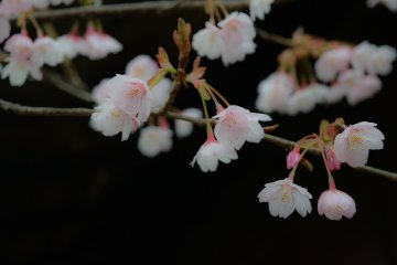 <p>Hachisuka-Sakura blossoms are more elegant than other Kan-Sakura blossoms</p>