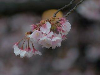 ช่อดอกสีชมพูเข้ม