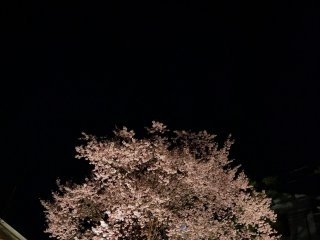 The cherry tree stands in the dark