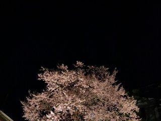 ต้นซากุระในความมืด