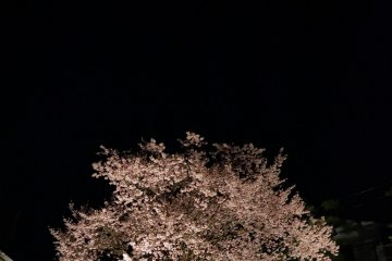 <p>The cherry tree stands in the dark</p>