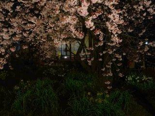 ในสวนยังมีดอกไม้สวยๆ ชนิดอื่นเช่นดอกแดฟโฟดิล