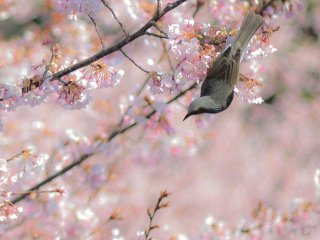 "Many ""Hachisuka-Sakura"" trees can also be seen in Tokushima Central Park, which was the garden of the castle"