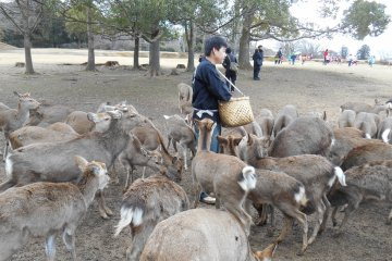 <p>Snack time for the deer in Nara park</p>
