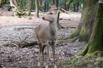 <p>This deer just heard the sound of a horn</p>