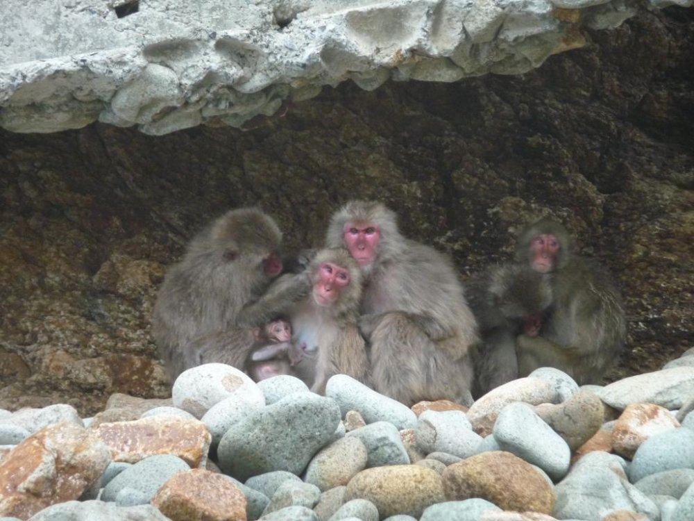 Hagachizaki-en is a wild monkey park by the ocean where a troop of about 300 Japanese Macaques make their home and playground.