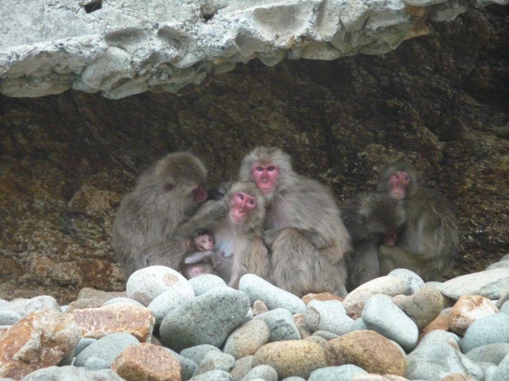 Hagachizaki-en là công viên khỉ hoang dã bên cạnh biển, nơi một đàn khỉ đuôi dài Nhật Bản khoảng 300 con sinh sống và vui chơi.