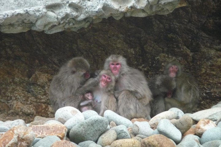 Surga Monyet Liar di Nishi Izu