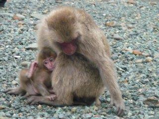 Khỉ mẹ bảo vệ và quan sát con mình trong khi nó tìm ngũ cốc.