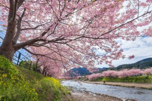 Bermekarnya bunga-bunga di Festival Sakura Kawazu sangatlah cantik, dan akan memanjakan mata Anda dengan nuansa merah muda dari segala penjuru