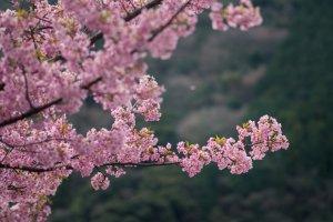 Sakura merah muda menyelimuti tiap dahan dari masing-masing pohon, menyajikan pemandangan yang sangat anggun