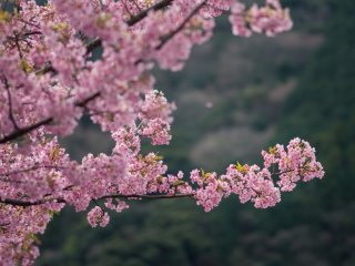 Pink blossoms cover the branches of each tree, making for a majestic sight.