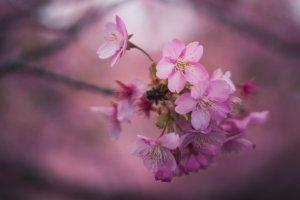 Meski dilihat dari dekat, bunga-bunga sakura akan tetap memukai dengan kecantikannya yang halus