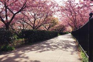 Jalan pagi di bawah pepohonan sakura adalah cara terbaik untuk memulai hari!