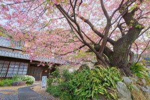 Ini adalah pohon sakura asli Kawazu, dengan sejarah bermula dari beberapa dekade pasca perang Jepang