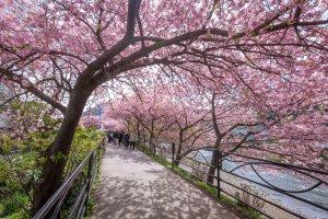 Beberapa pohon yang lebih tua menjulang lebih tinggi dengan cabang-cabang yang memasuki jalur pejalan kaki, menciptakan bayangan merah muda di seluruh area