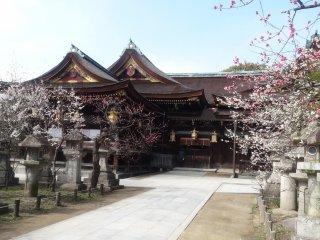 ดอกพลัมที่ ศาลเจ้าคิทะโนะ เท็นมันกุ (Kitano Tenmangu)