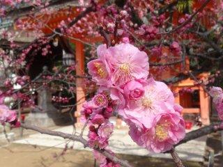 สีชมพูแก่ก็สวยไม่แพ้กัน