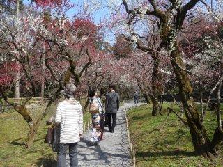 ในสวนของศาลเจ้ามีต้นพลัม 2,000 ต้น