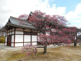 Le premier prunier fleuri du temple