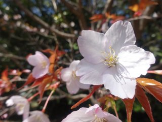 Sakura in bloom at the Makino Botanical Garden