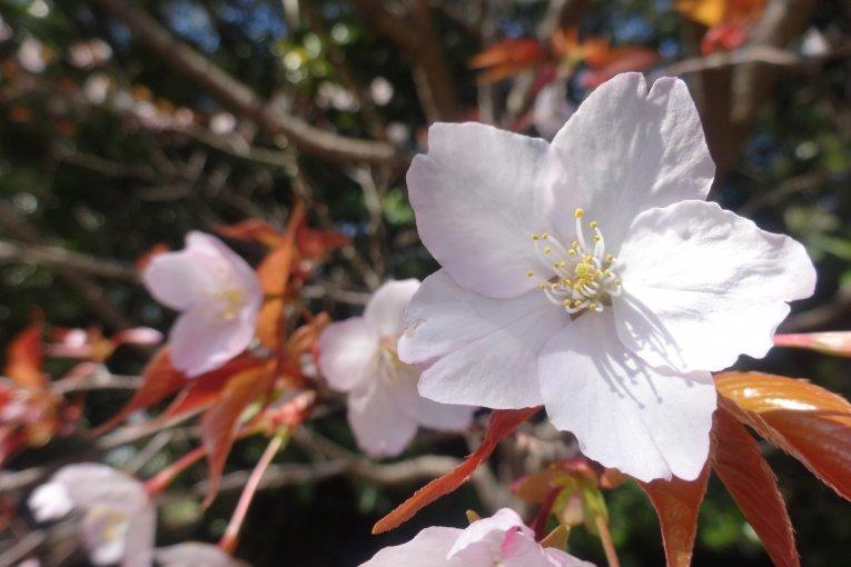 ฤดูใบไม้ผลิที่สวนพฤกษศาสตร์ Makino