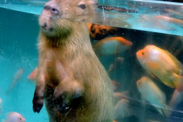<p>Capybara with only the top of his head above the water</p>