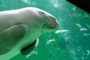 Toba Aquarium is the only place in Japan you can see a dugong