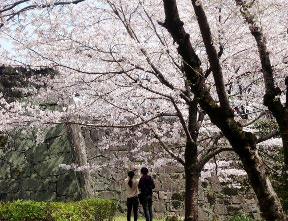 熊本城桜便り