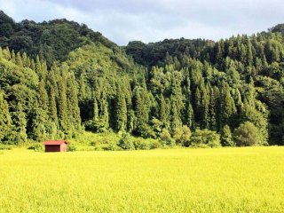 At the height of summer, the rice turns a bright yellow-green, in contrast to the dark cedar forest behind.