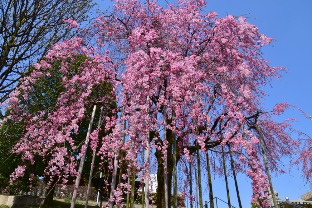 What a gorgeous weeping cherry tree!