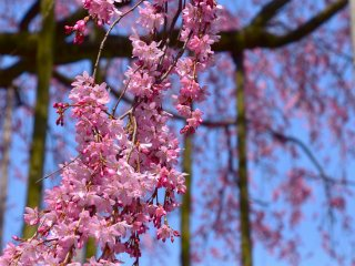 Cascading cherry boughs brimming with lovely pink petals are fluttering in the wind