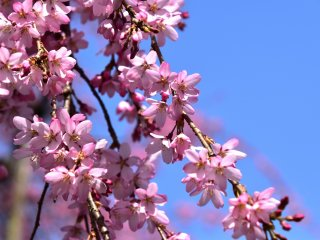 Daydreaming cherry blossoms on a sunny spring day