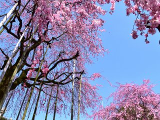 These weeping cherry trees are supported by many wooden poles