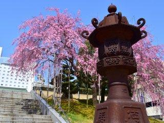 Giant bronze lantern at Sakaeno Yashiro Shrine in Fukui, with an elegant cascading cherry tree in the background