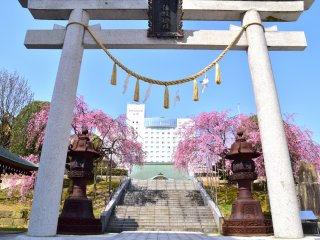 A white torii gate, gold sacred rope, two giant bronze lanterns and two weeping cherry trees all together represent Sakaeno Yashiro Shrine in the heart of Fukui City