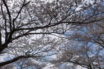 Cherry Blossoms in the air