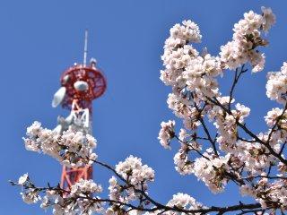 Những bông anh đào đang nở rộ, phía sau là tháp truyền hình NHK