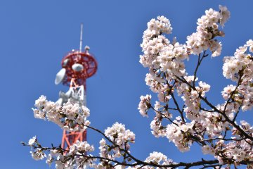 <p>Fully blooming cherry blossoms with the broadcasting tower of NHK in the background</p>