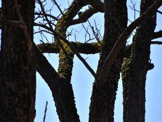 裸木に密生する緑の苔